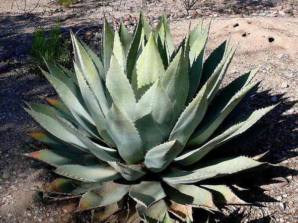 Parry's Agave (Agave Parryi) http://www.sagebud.com/parrys-agave-agave-parryi/