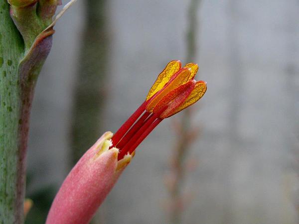 Smallflower Century Plant (Agave Parviflora) http://www.sagebud.com/smallflower-century-plant-agave-parviflora