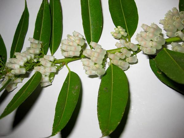 Florida Hobblebush (Agarista Populifolia)