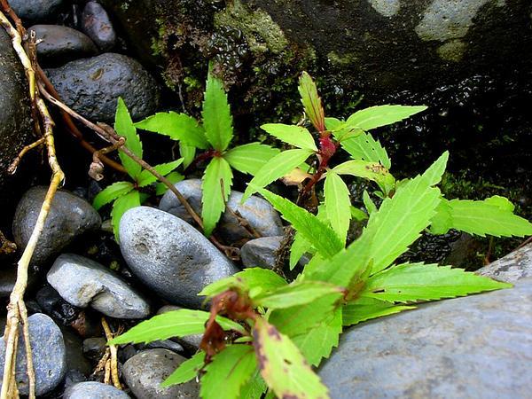 Spreading Snakeroot (Ageratina Riparia) http://www.sagebud.com/spreading-snakeroot-ageratina-riparia