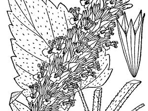 AGSC/Agastache_scrophulariifolia_drawing_300.png