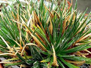 Toumey's Century Plant