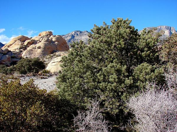 Utah Agave (Agave Utahensis) http://www.sagebud.com/utah-agave-agave-utahensis