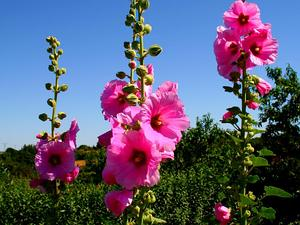 ALCEA/2006-07-15_stockrose1_300.jpg