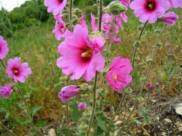 Hollyhock (Alcea) http://www.sagebud.com/hollyhock-alcea