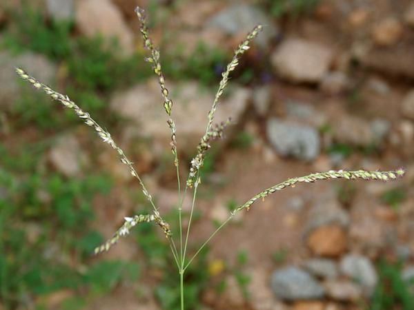 Summergrass (Alloteropsis Cimicina) http://www.sagebud.com/summergrass-alloteropsis-cimicina/