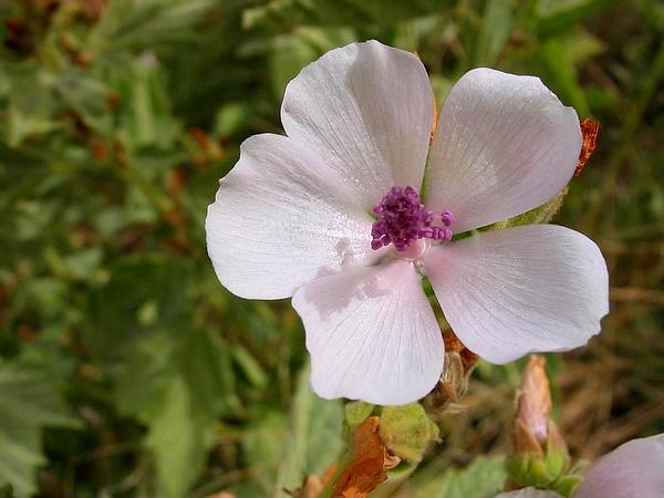 Common Marshmallow (Althaea Officinalis) http://www.sagebud.com/common-marshmallow-althaea-officinalis