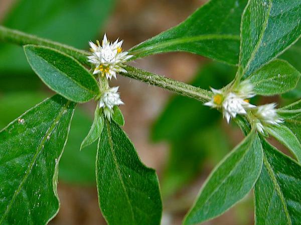 Smooth Joyweed (Alternanthera Paronychioides) http://www.sagebud.com/smooth-joyweed-alternanthera-paronychioides/