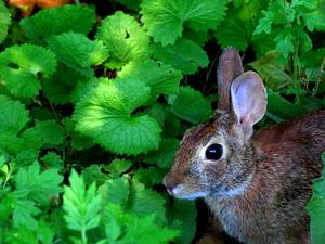 ALPE4/A_cotton-tailed_rabbit_surrounded_by_invasive_garlic_mustard,_mugwort,_and_burdock_300.jpg