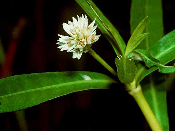 Alligatorweed (Alternanthera Philoxeroides) http://www.sagebud.com/alligatorweed-alternanthera-philoxeroides