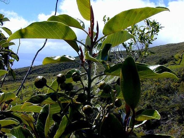 Hawai'I Kauilatree (Alphitonia Ponderosa) http://www.sagebud.com/hawaii-kauilatree-alphitonia-ponderosa