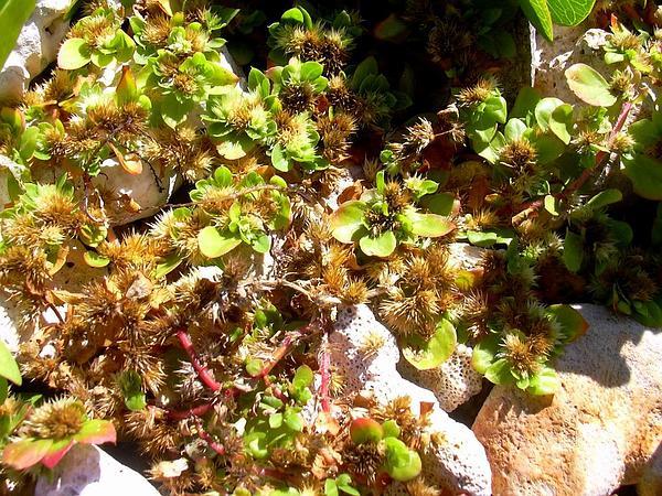 Khakiweed (Alternanthera Pungens) http://www.sagebud.com/khakiweed-alternanthera-pungens