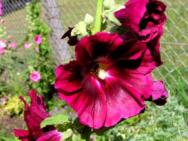 Hollyhock (Alcea Rosea) http://www.sagebud.com/hollyhock-alcea-rosea