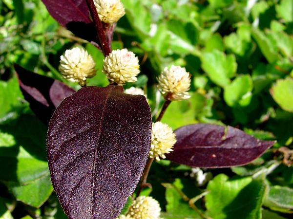 Joyweed (Alternanthera) http://www.sagebud.com/joyweed-alternanthera/