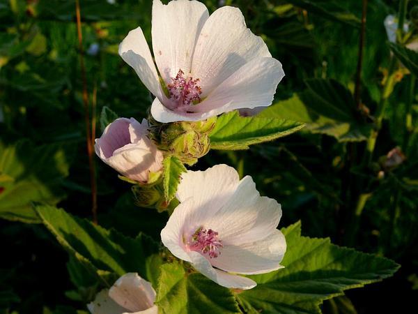 Marshmallow (Althaea) http://www.sagebud.com/marshmallow-althaea