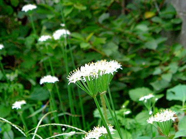Chinese Chives (Allium Tuberosum) http://www.sagebud.com/chinese-chives-allium-tuberosum