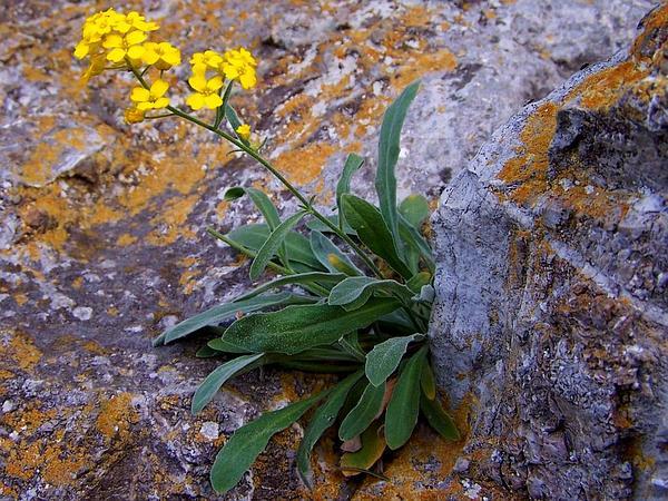 Madwort (Alyssum) http://www.sagebud.com/madwort-alyssum