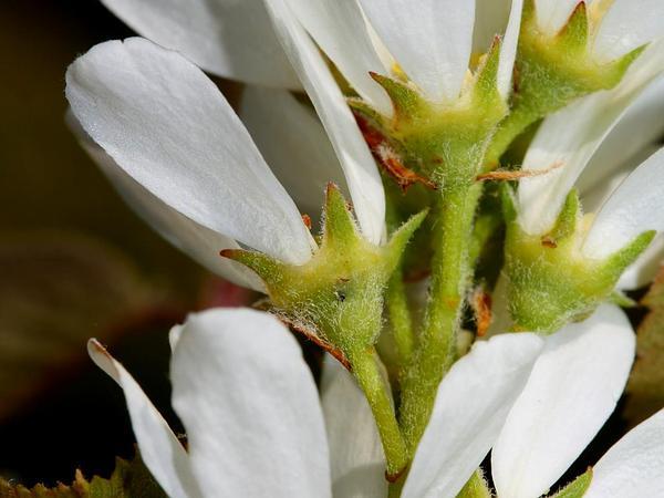 Saskatoon Serviceberry (Amelanchier Alnifolia) http://www.sagebud.com/saskatoon-serviceberry-amelanchier-alnifolia