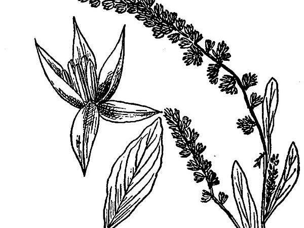 Pigweed (Amaranthus) http://www.sagebud.com/pigweed-amaranthus/