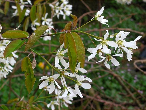 Canadian Serviceberry (Amelanchier Canadensis) http://www.sagebud.com/canadian-serviceberry-amelanchier-canadensis