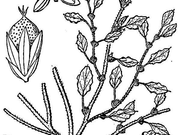 Crispleaf Amaranth (Amaranthus Crispus) http://www.sagebud.com/crispleaf-amaranth-amaranthus-crispus
