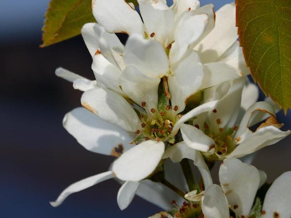 Serviceberry (Amelanchier) http://www.sagebud.com/serviceberry-amelanchier/