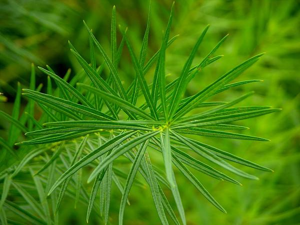Hubricht's Bluestar (Amsonia Hubrichtii) http://www.sagebud.com/hubrichts-bluestar-amsonia-hubrichtii/