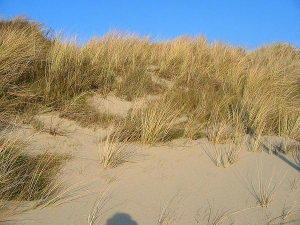 Beachgrass (Ammophila) http://www.sagebud.com/beachgrass-ammophila