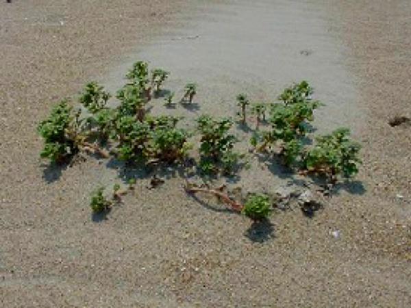 Seaside Amaranth (Amaranthus Pumilus) http://www.sagebud.com/seaside-amaranth-amaranthus-pumilus