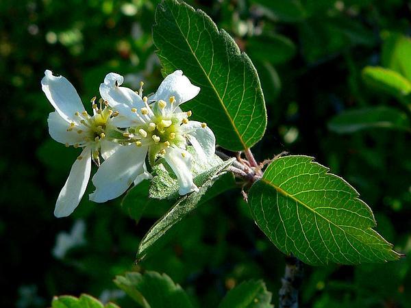 Utah Serviceberry (Amelanchier Utahensis) http://www.sagebud.com/utah-serviceberry-amelanchier-utahensis