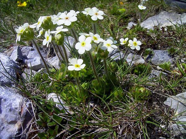 Sweetflower Rockjasmine (Androsace Chamaejasme) http://www.sagebud.com/sweetflower-rockjasmine-androsace-chamaejasme/