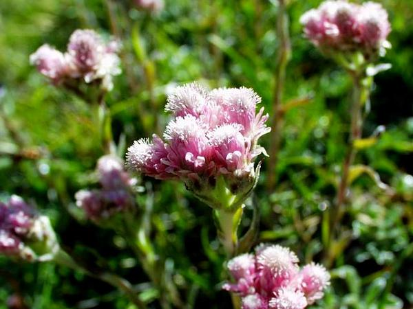 Stoloniferous Pussytoes (Antennaria Dioica) http://www.sagebud.com/stoloniferous-pussytoes-antennaria-dioica
