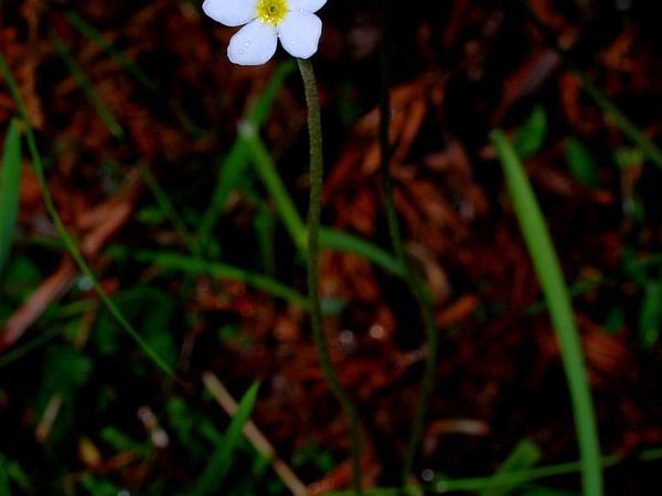 Rockjasmine (Androsace) http://www.sagebud.com/rockjasmine-androsace