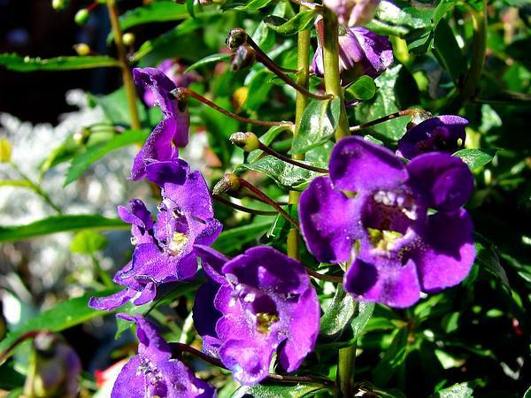 Angelon (Angelonia) http://www.sagebud.com/angelon-angelonia