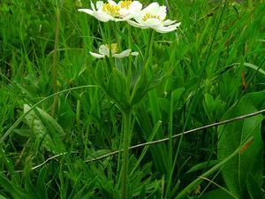 Narcissus Anemone