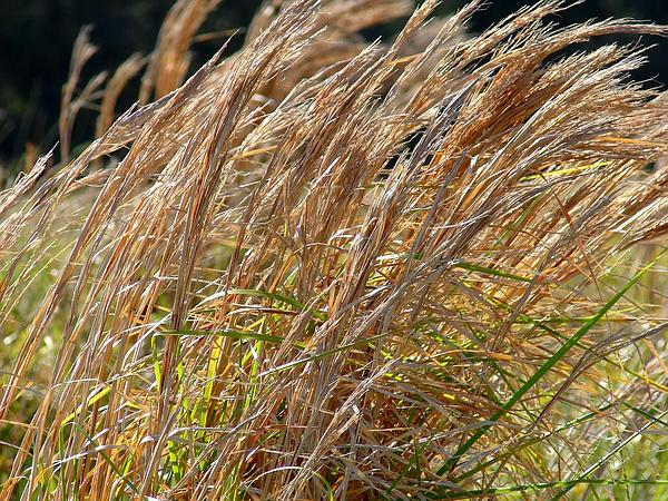 Broomsedge Bluestem (Andropogon Virginicus) http://www.sagebud.com/broomsedge-bluestem-andropogon-virginicus