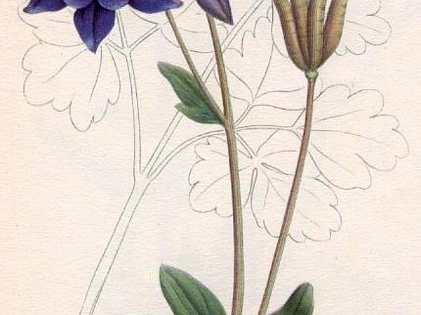 European Columbine (Aquilegia Vulgaris)