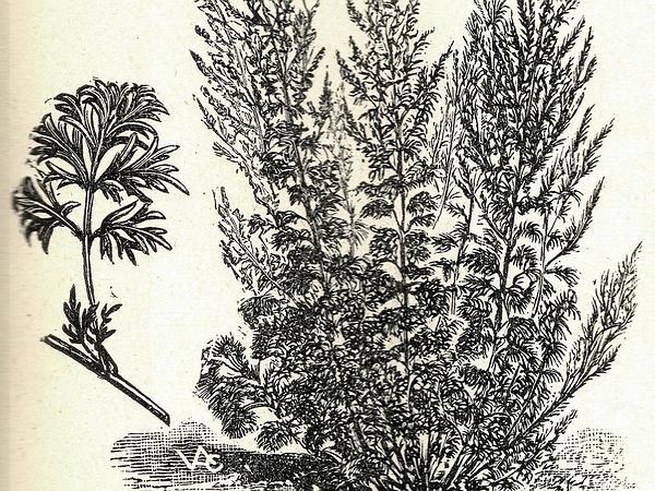 Absinthium (Artemisia Absinthium) http://www.sagebud.com/absinthium-artemisia-absinthium