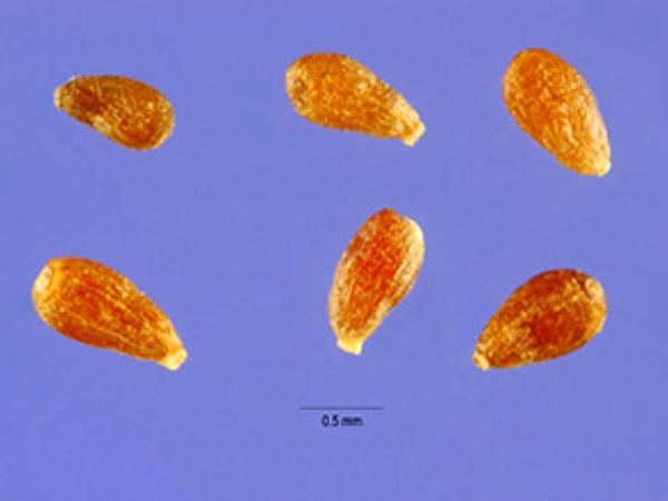 Absinthium (Artemisia Absinthium) http://www.sagebud.com/absinthium-artemisia-absinthium/