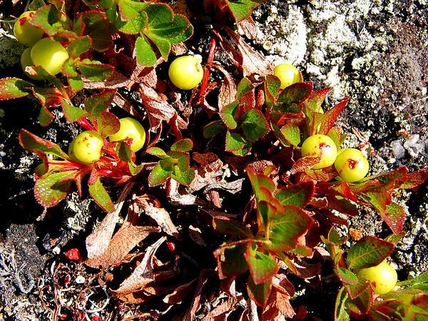 Alpine Bearberry (Arctostaphylos Alpina) http://www.sagebud.com/alpine-bearberry-arctostaphylos-alpina