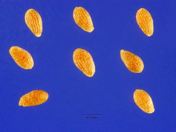 Sweet Sagewort (Artemisia Annua) http://www.sagebud.com/sweet-sagewort-artemisia-annua