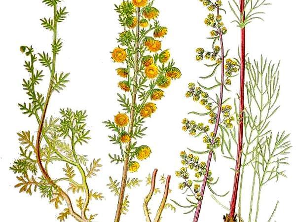 Field Sagewort (Artemisia Campestris) http://www.sagebud.com/field-sagewort-artemisia-campestris