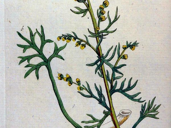 Field Sagewort (Artemisia Campestris) http://www.sagebud.com/field-sagewort-artemisia-campestris/