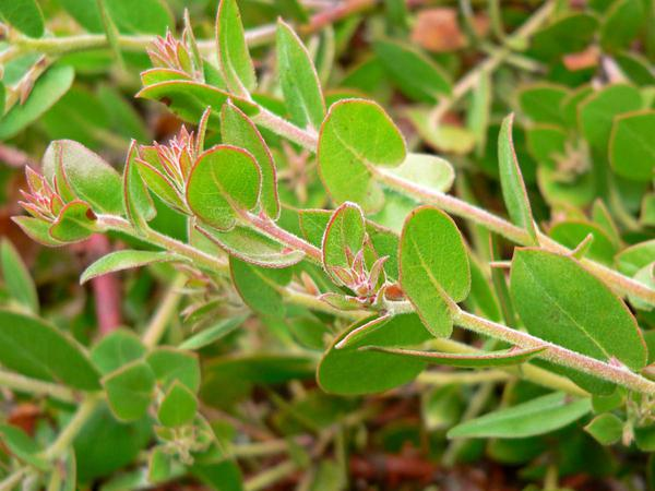La Cruz Manzanita (Arctostaphylos Cruzensis) http://www.sagebud.com/la-cruz-manzanita-arctostaphylos-cruzensis