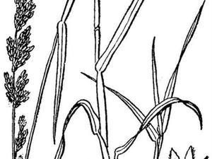 Polargrass
