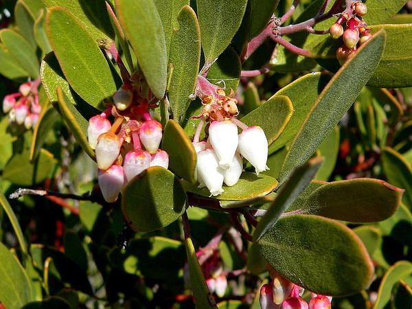 Manzanita (Arctostaphylos) http://www.sagebud.com/manzanita-arctostaphylos