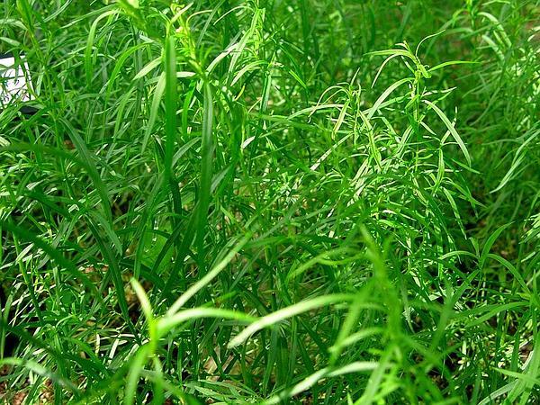 Tarragon (Artemisia Dracunculus) http://www.sagebud.com/tarragon-artemisia-dracunculus