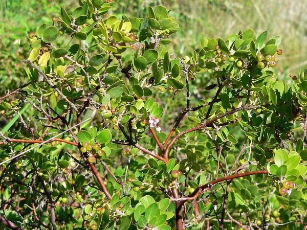 Little Sur Manzanita (Arctostaphylos Edmundsii) http://www.sagebud.com/little-sur-manzanita-arctostaphylos-edmundsii