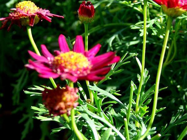 Marguerite (Argyranthemum Frutescens) http://www.sagebud.com/marguerite-argyranthemum-frutescens