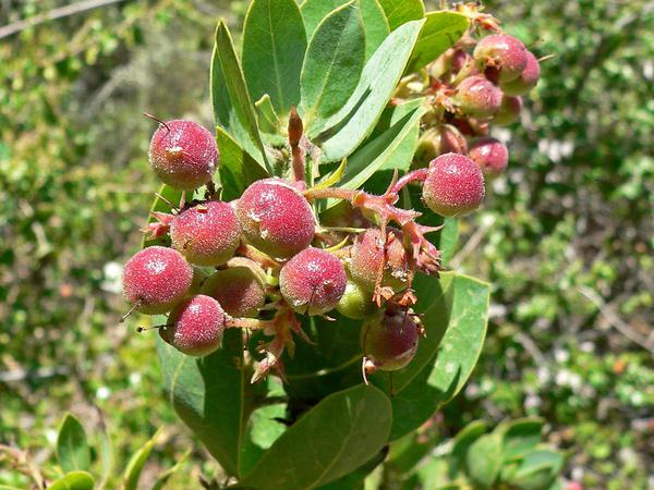 Bigberry Manzanita (Arctostaphylos Glauca) http://www.sagebud.com/bigberry-manzanita-arctostaphylos-glauca